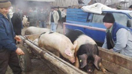 Focar de pestă porcină, la granița cu România. ANSVSA INCHIDE TARGURILE DE ANIMALE