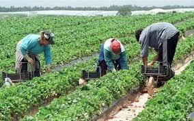 AGROSTAR: Foarte mulți români care pleacă în Italia să muncească în agricultură ajung sclavi