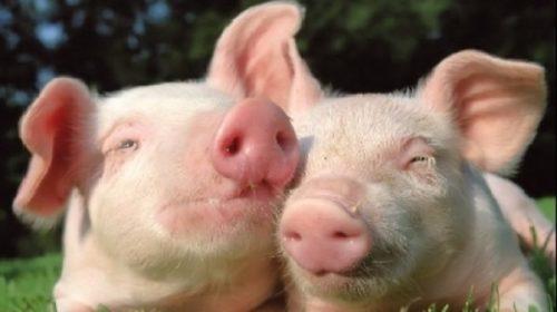 309.500 de euro sprijin financiar pentru crescatorii de porci
