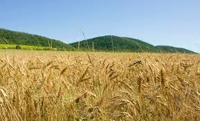 FAO: Producția globală de cereale pentru 2016 ar trebui să fie de aproximativ 1 329 milioane tone, cu 2,1 la sută mai mare decât în 2015