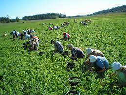 Gorj: 250 de locuri de muncă sezonieră în AGRICULTURĂ — DANEMARCA SI PORTUGALIA