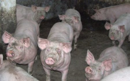 Crescătorii de porcine vor primi 3000 de lei pentru a cumpăra animale de reproducție din rase pure sau hibride