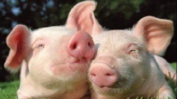 Olt: Restrictiile privind pesta porcina au fost ridicate! Gospodariile din Cilieni pot fi repopulate cu porci