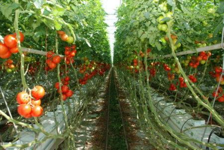 Legumicultorii isi primesc banii pentru tomate