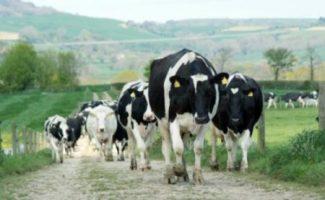 Premiera in zootehnia romaneasca: Primul transfer de embrioni la bovine realizat cu succes în România