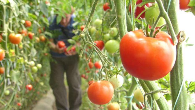 Legumicultorii olteni primesc banii in cadrul Programului pentru tomate