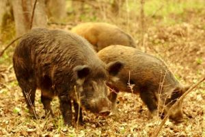 Bulgaria construiește un gard la granița terestră cu România pentru a preveni răspândirea virusului pestei porcine africane