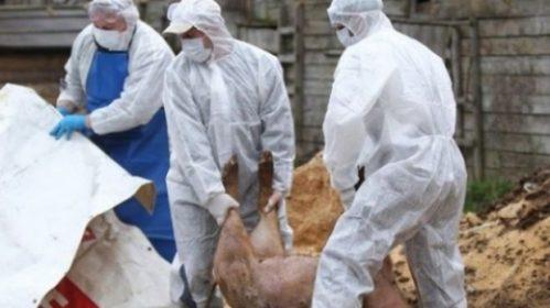 Pesta Porcină Africană evoluează în 287 de localități – 1092 de focare